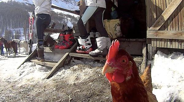 Här kommer kycklingarna fram och hälsar dig välkommen.