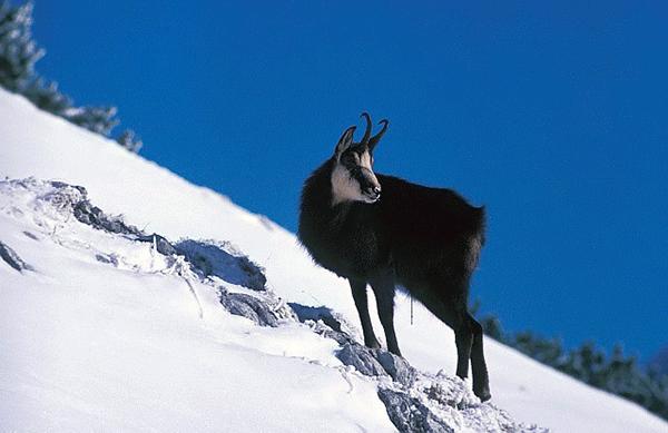Gems bor i grottor i och runt Arlbergs bergsluttningar